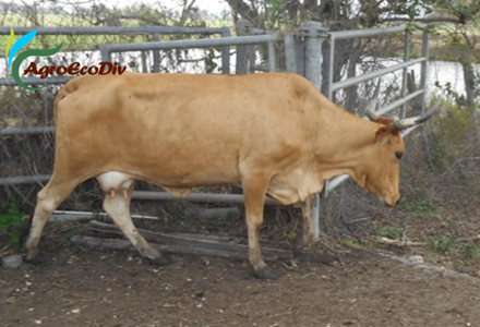 Etat corporel des vaches de race Créole de Guadeloupe (01 02 2021)