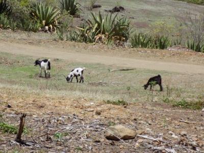 Journée technique sur la gestion sanitaire des troupeaux à la Désirade 13 avril 2017