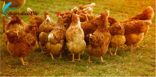 Séminaire interne AgroEcoDiv : des poules - recherche-intervention ? (Petit-Bourg, 16 mars 2021)