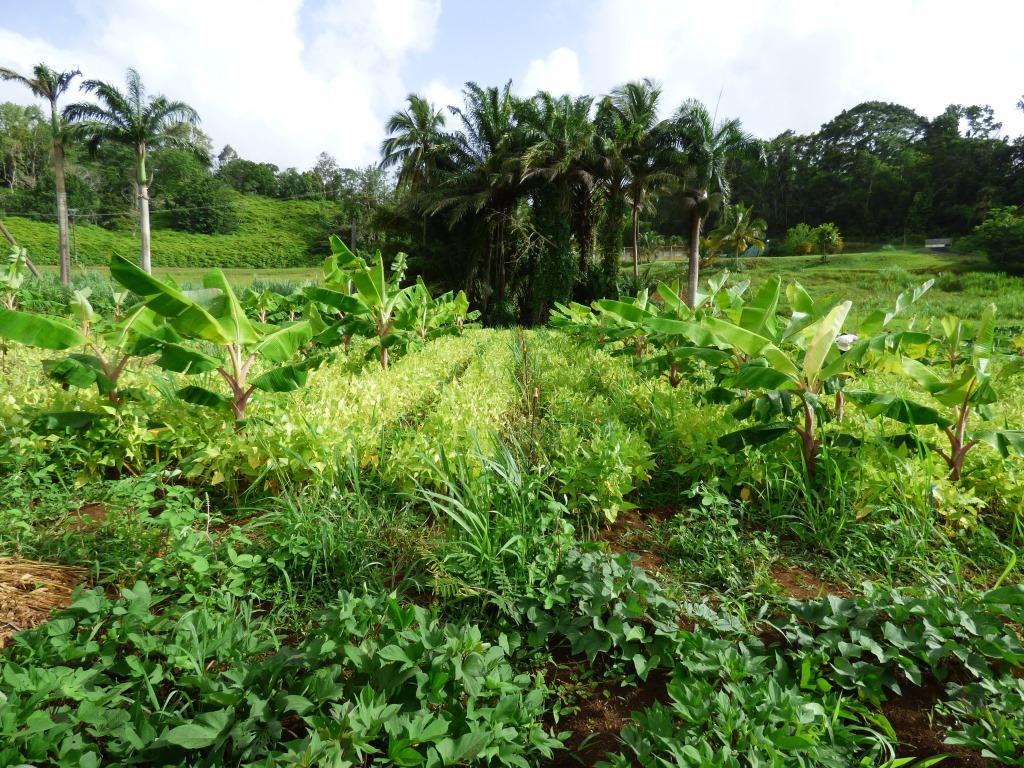 AF1801 Vue d'ensemble plantations Duclos Petit-Bourg 06 06 2018  MJM URZ (7)