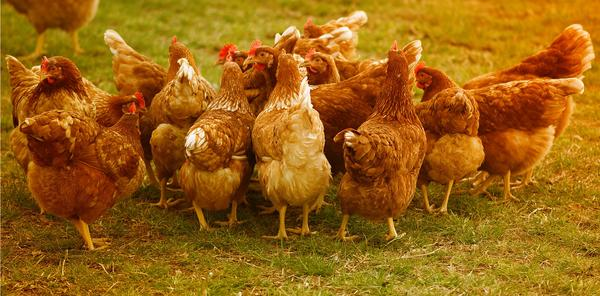 chickens-4145198_1920