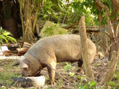 Travaux INSSICCA sur le porc 2018